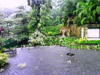 Pohon Tumbang di komplek Gua Maria Sendang Jatiningsih